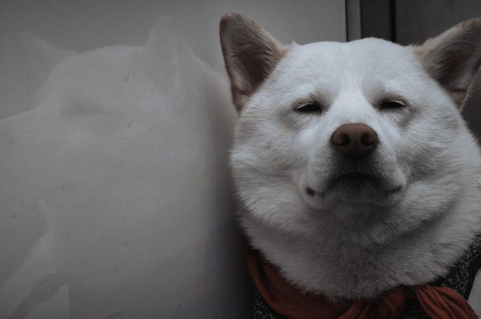 Shiba Inu Dog Pet Animal White Dog  - NachtmahrTV / Pixabay